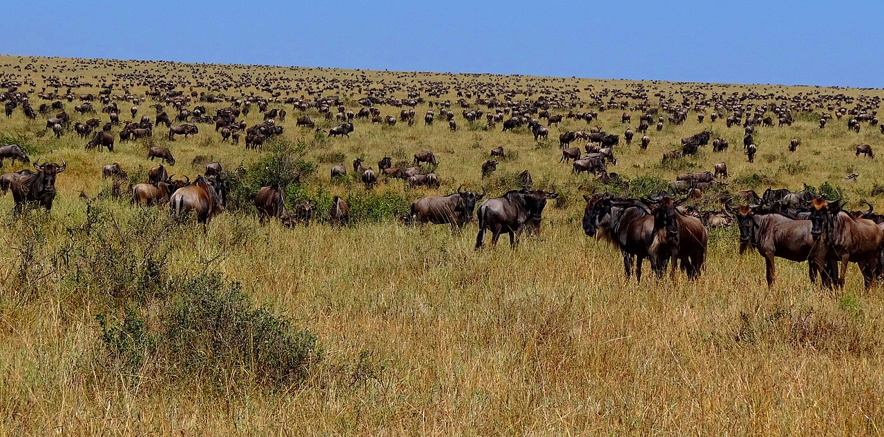 1280px-Wildebeest-during-Great-Migration.JPG